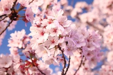 Dates Of Cherry Blossom Festival In India Confirmed News