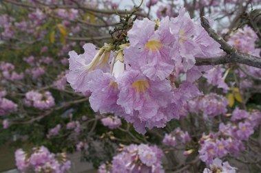 Sakura in Bangkok? It's High Time to Enjoy It Blooming