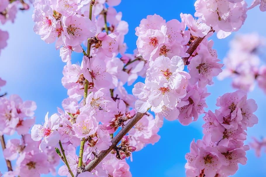 Japan S Cherry Blossom Forecast 2020 Released News